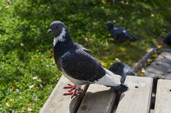 Dove. Pigeon sat on a bench in the park Royalty Free Stock Images