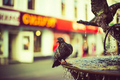 Dove. Pigeon sitting on the fountain Royalty Free Stock Photo