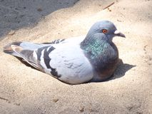 Dove pigeon sitting in sand on beach royalty free stock images