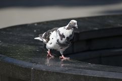 Dove or pigeon walks near the fountain and lit by the sun royalty free stock photography