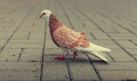 Dove. Pigeon walks on the pavement Royalty Free Stock Image