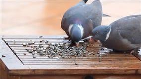 Dove Pigeons pecking sunflower seeds. Pigeons pecking sunflower seeds on garden table stock video footage