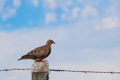 Dove Royalty Free Stock Photo