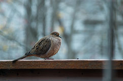Dove on Porch Deck. A dove resting on a railing, with blurred background Royalty Free Stock Image
