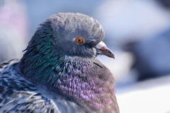 Dove. Portrait of dove in a winter day stock images