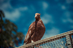 Dove. A pure bred dove perched on top of a cage Royalty Free Stock Photos