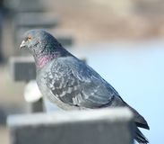 Dove on the railing Royalty Free Stock Photo