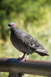 Dove on the railing stares.  Stock Images