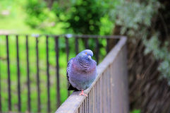 Dove on the rails Royalty Free Stock Photo