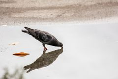 The Dove and the reflection in the water. It is drinking water o Royalty Free Stock Images