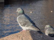 Dove by the river. Portrait of a dove by the river in the foreground royalty free stock image