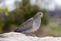Dove on a rock. A dove sunning on a rock Royalty Free Stock Image