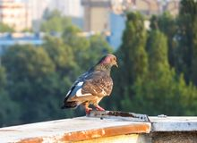 Dove on the rooftop. Of the building.rn royalty free stock photography