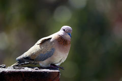 Dove on rooftop. A dove sitting rooftop bounded with brick wall Stock Photos