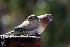 Dove on rooftop. A dove sitting rooftop bounded with brick wall Stock Image