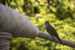 Dove on a rope bridge Royalty Free Stock Photography