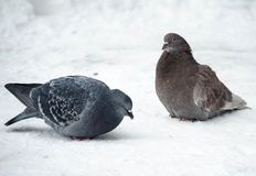 Dove. Ruffled lonesome thick Doves in the cold Stock Images