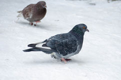 Dove. Ruffled thick Doves in the cold Stock Photo