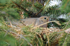 Dove's Nest. Spring time, an incubating Mourning Dove (Zenaida Macroura) nesting in a pine tree Stock Photography
