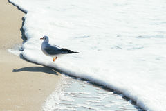Dove on sand beach and ocean wave. In Busan, Korea Royalty Free Stock Photos