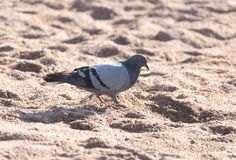 Dove on the sand. In the park in nature Royalty Free Stock Photos