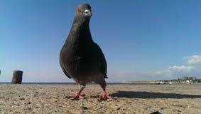 Dove, stock image