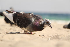 Dove at the seaside. Royalty Free Stock Photo