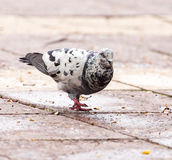 Dove on the sidewalk in the city Stock Images