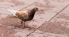Dove on the sidewalk in the city Royalty Free Stock Photography