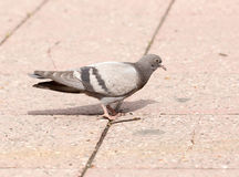 Dove on the sidewalk in the city Stock Photos