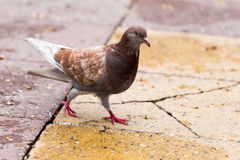 Dove on the sidewalk in the city Royalty Free Stock Images