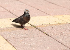 Dove on the sidewalk in the city Royalty Free Stock Photo