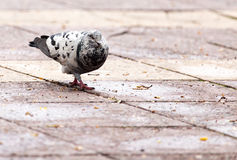 Dove on the sidewalk in the city Stock Photo