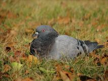 Dove sits on autumn grass Royalty Free Stock Image