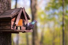 The dove sits on a bird house. The dove is waiting for people to feed it royalty free stock images