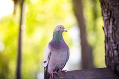 The dove sits on a bird house. The dove is waiting for people to feed it royalty free stock photos