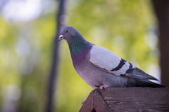 The dove sits on a bird house. The dove is waiting for people to feed it stock photography