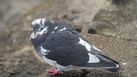 The dove sits on the seashore. Slow motion,high speed camera stock video