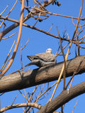 Dove sitting on bare tree branch Royalty Free Stock Photo