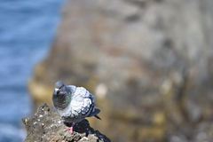 Dove sitting on a cliff with sea and a rock in soft focus in the Stock Photos