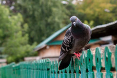 Dove sitting Royalty Free Stock Images