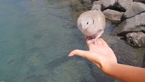 Dove sitting on hand. stock footage
