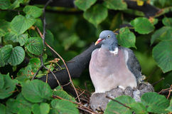 Dove sitting on a nest Stock Photography