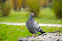 Dove Royalty Free Stock Images