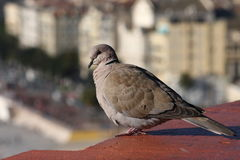 Dove, sitting on the roof Stock Photos