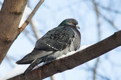 Dove sitting on a snow-covered branch. Female pigeon bird. Soft focus. Shallow depth of field Stock Image