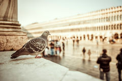 Dove sitting on the square Stock Photos