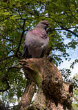 Dove sitting on the trunk of the ruined tree. Royalty Free Stock Photo