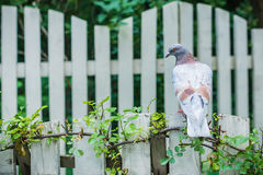 Dove sitting on white fence. The dove sitting on a white wooden fence in the garden royalty free stock photos