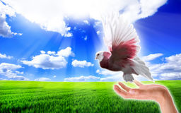 Dove in the sky. Beautiful dove released to the sky Royalty Free Stock Images